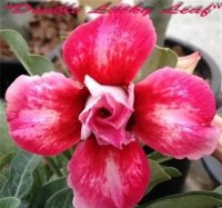 Adenium 'Double Lucky Leaf' 5 Seeds