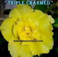 Adenium Obesum Triple Charmed Yellow 5 Seeds