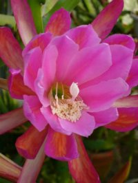 Epiphyllum Seeds [Orchid Cactus] 'Madras Ribbon' 10 Seeds