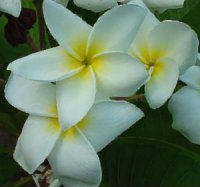 Plumeria Seeds 'Dosy White' 6 Seeds