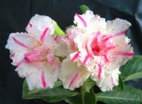 Adenium Seeds 'Triple Baramee' (5 Seeds)