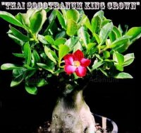 Thai Socotranum 'King Crown' 5 Seeds