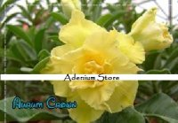 New Adenium 'Aurum Crown' 5 Seeds