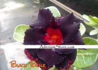 New Adenium 'Black Belle' 5 Seeds