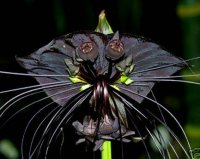 Tacca Chantrieria 'Black Bat Plant' (5 Seeds)