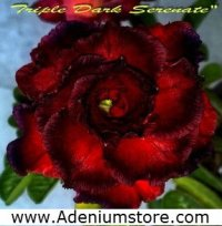 Adenium 'Triple Dark Serenade' 5 Seeds