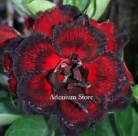 Adenium Obesum 'Triple Black Fire 2' x 5 Seeds