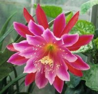 Epiphyllum Seeds [Orchid Cactus] 'Pegasus' 10 Seeds