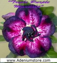 Adenium 'Triple Purple Mandala' 5 Seeds