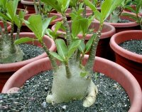 Adenium Arabicum 'Fleet of Desert' 5 Seeds