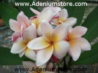 Plumeria Seeds 'Classic Brown' (6 Seeds)