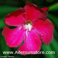 Nerium Oleander 'Magenta Beauty' 5 Seeds