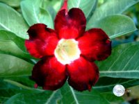 Adenium Obesum 'Black Beauty' x 5 Seeds