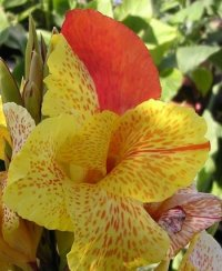 Canna Lily Seeds 'King Humbert' 5 Seeds