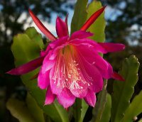 Epiphyllum Seeds [Orchid Cactus] 'Wendy' 10 Seeds