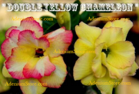 Adenium Obesum Double Yellow Chameleon 5 Seeds
