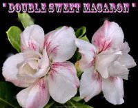 Adenium Obesum 'Double Sweet Macron' 5 Seeds