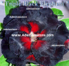 Adenium Triple Black Elephant 5 Seeds