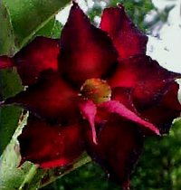 Adenium Obesum Double Black Beauty 5 Seeds