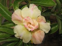 Adenium Obesum 'White Knight' x 5 seeds