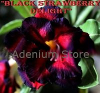 Adenium Obesum Black Strawberry Delight 5 Seeds