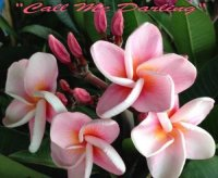 Plumeria Seeds 'Call Me Darling' 6 Seeds