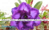 New Adenium 'Amethyst' 5 Seeds