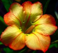 Adenium Obesum 'Honey' 5 Seeds