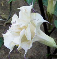 Datura Seeds 'Box of Chocolate 136' (5 Seeds)