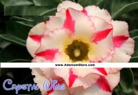New Adenium 'Crystal Wing' 5 Seeds
