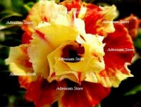 Adenium Obesum Double Frosted Apple 5 Seeds