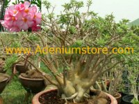 Adenium Arabicum 'Black Petch Na Wang' PNW 5 Seeds