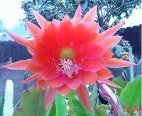 Epiphyllum 'Cinco De Mayo' 5 Seeds