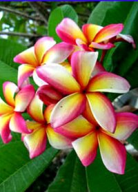 Muai Morgan Jr Plumeria Rubra (6 Seeds)