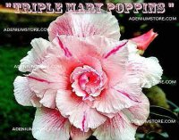Adenium Obesum 'Triple Mary Poppins' 5 Seeds