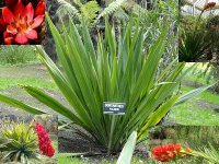 Giant Spear Lily Seeds 'Doryanthes Palmeri' (10 Seeds)