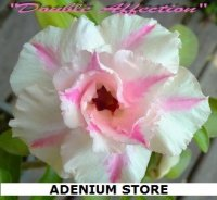 Adenium 'Obesum Double Affection' 5 Seeds
