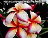 Sweet Temptation Plumeria 6 Seeds