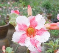 Adenium Obesum 'Beauty Cloud 2' x 5 Seeds