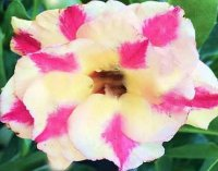 Adenium Obesum 'Triple Warm Sugar' 5 Seeds