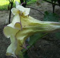 Datura Seeds 'Box of Chocolate 310' (5 Seeds)
