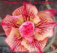 Adenium 'Triple Gem of Siam' 5 Seeds