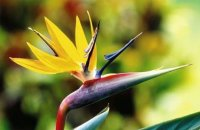 Bird of Paradise Seeds 'Mandelas Gold' (5 Seeds)