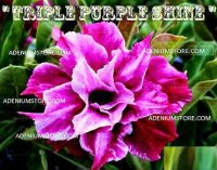 Adenium Obesum 'Triple Purple Shine' 5 Seeds