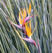 Bird of Paradise 'Strelitzia Juncea' x 5 Seeds