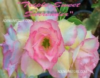 Adenium Obesum 'Triple Sweet Surrender' 5 Seeds