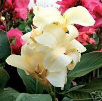 Canna Lily Seeds 'Tropical White' 5 Seeds
