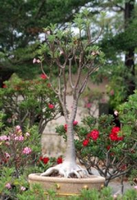 Adenium Arabicum 'Giant As Sa Win Dam' 5 Seeds