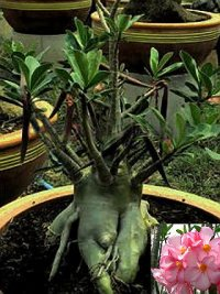 Adenium Arabicum 'Dwarf Black Petch Na Wang' 5 Seeds