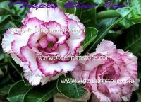 Adenium Obesum 'Triple Blue Ice' 5 Seeds